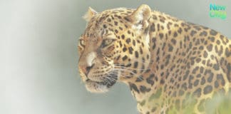 Saving Big Cats from Extinction Jaguar