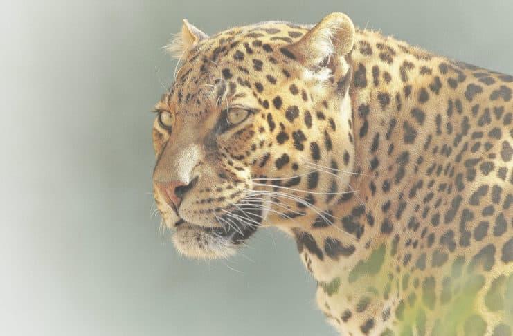 Saving Big Cats from Extinction Jaguar